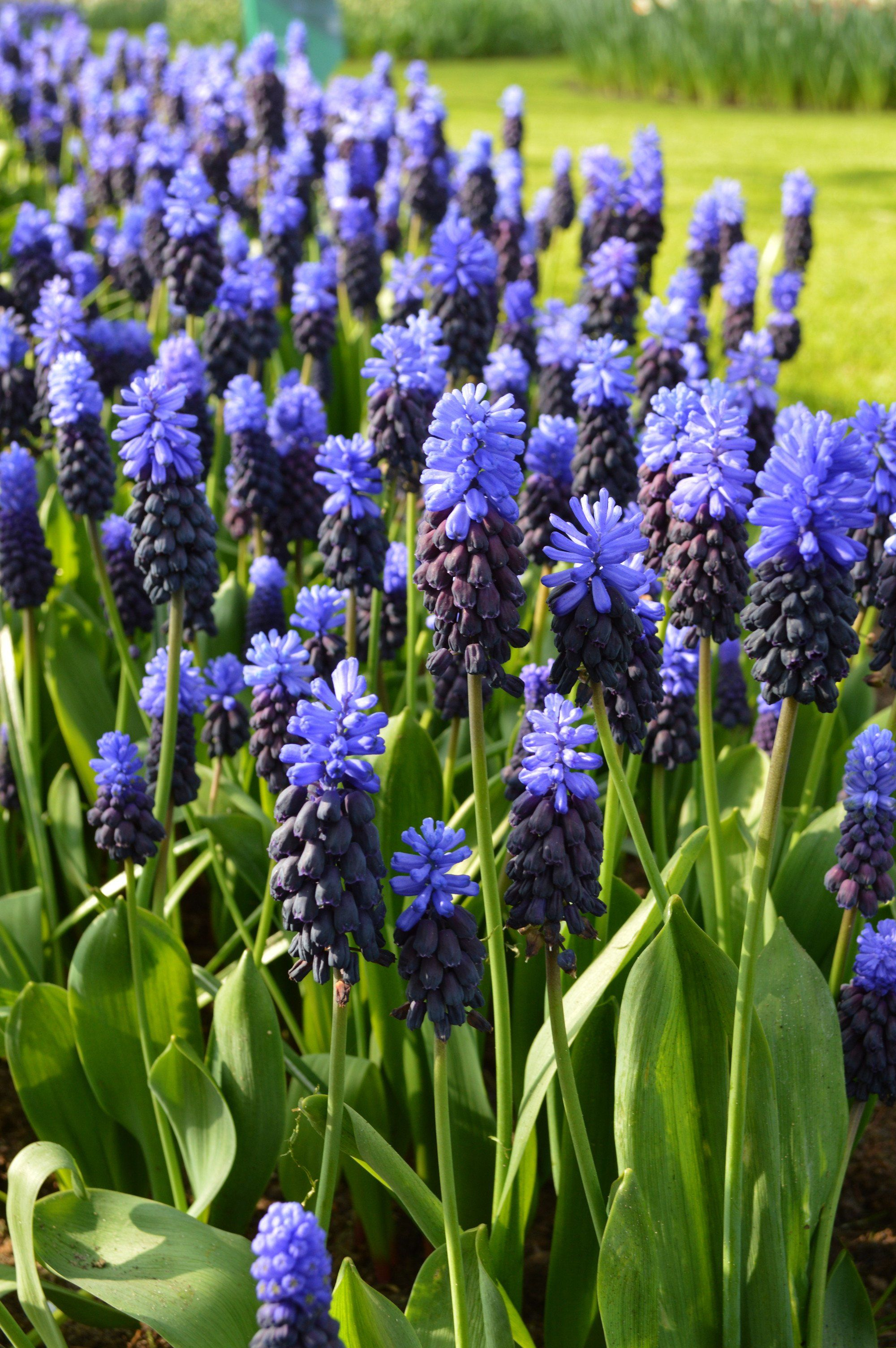 Muscari Latifolium Grape Hyacinth Landscaper Special Bulb Flowers Muscari Plant Flower Bulbs