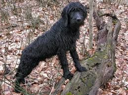 Image Result For Wirehaired Pointing Griffon Lab Mix Dog Stuff