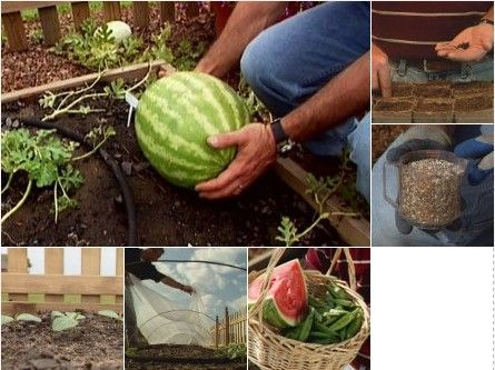 Watermelons are surprisingly easy to grow as long as the plants have plenty of room to spread, good drainage, lots of sunlight, and a sufficiently long growing season. Gardeners in northern climates should choose early ripening varieties. Popular watermelon varieties include Sugar Baby, Sweet Favorite and Cotton Candy.