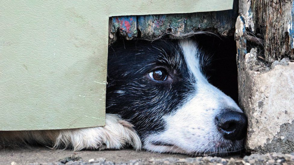 A Border Collie Peeping Through The Corner Of A Door In Boston
