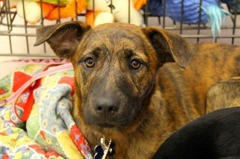 Adopt Primrose On Petfinder Labrador Retriever Dog Dogs Labrador Retriever Mix