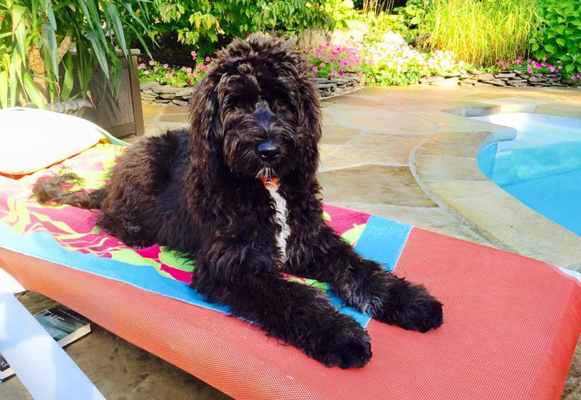 Goldendoodle puppies by moss creek doodles goldendoodle