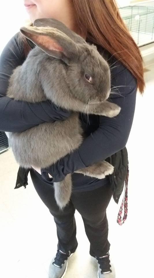 Adopt Flemish Rabbit On Pet Bunny Rabbit Adoption Giant Rabbit
