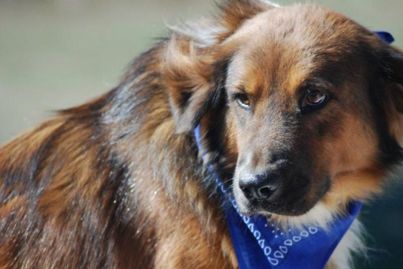 Adopt Jose On Please Rescue Or Adopt Me Dogs Pet Adoption Collie Dog