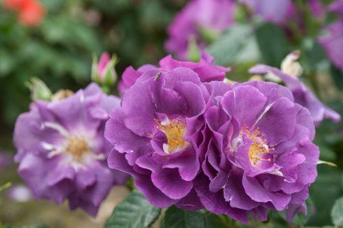 'Rhapsody in blue' Мр 2, Чп 1, зона 6. Выс 60-100 см, цвет пурпурно-фиолетовый. Размер цветка: 6-8 см. Цветение обильное, повторное. В течении сезона постоянно продуцирует отдельные цветки. Куст прямостоячий, густооблиственный. Листва светло-зелёная, глянцевая. Куст зимостойкий, требует профилактических обработок против чёрной пятнистости.