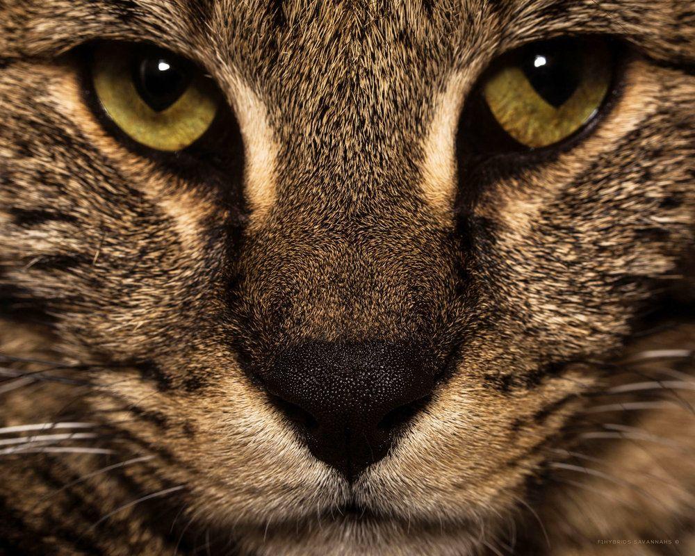Savannah Cat Size,Diet,Temperament,Price. Cats