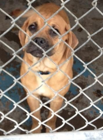 Dixie Pug Beagle Mix Young Female Small Sweet Adoptables