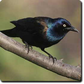 Common Grackle. Learn About Your Backyard Birds U2013 Backyard Wild ...