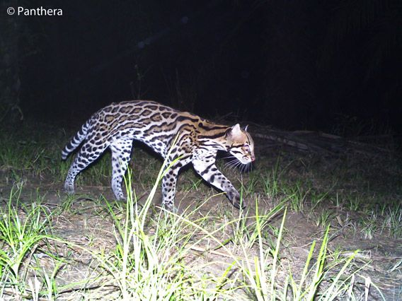 Ocelot in palm oil plantation in Colombia. Photo by: Panthera