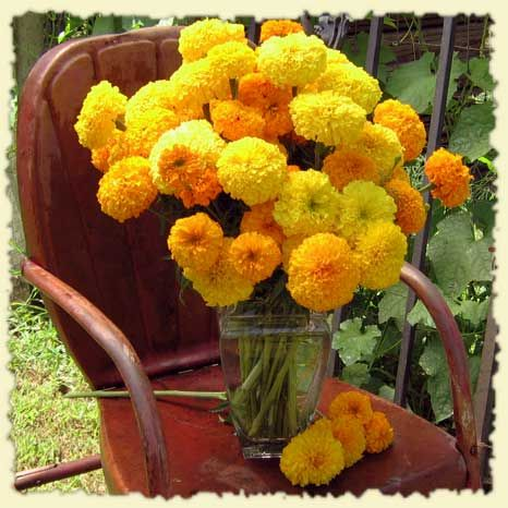 Marigolds also repel mosquitoes