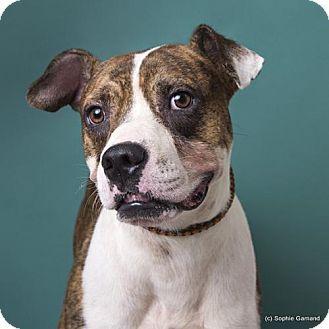 Anniston, AL Boxer Mix. Meet Ernie, a dog for adoption