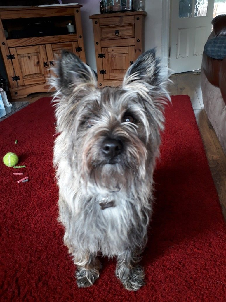 Pin By Martha Watson On Cairn Crazy Cairn Terrier Terrier Pets