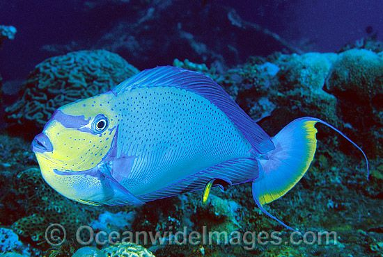 Big nose unicornfish naso vlamingii under the sea for Big nose fish