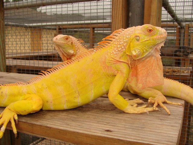 Albino Iguanas Reptiles Y Anfibios Iguanas Animales Albinos