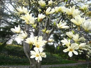 Magnolia Tree Types Planting Care Tree Garden Design