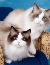 Ragdolls The Ragdoll Is Known For Its Docile And Placid