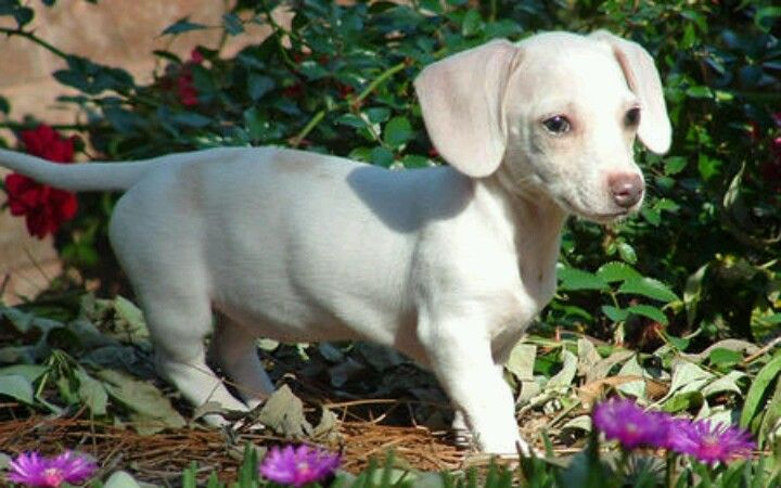 White Dachshund Dachshund Puppies Dachshund Short Dog