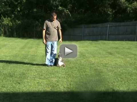 Blue Pitbull Training American Pitbull Terrier Dog Obeidence