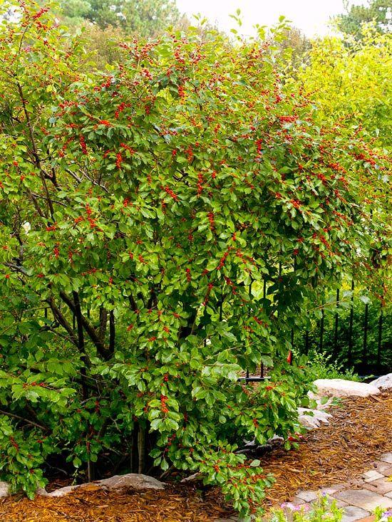 New Trees And Shrubs For 2013 Shrubs Garden Shrubs Trees And Shrubs
