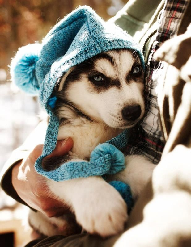 I want a husky so bad! They are gorgeous dogs!! If I lived on some land I would take pups in I love them too much!