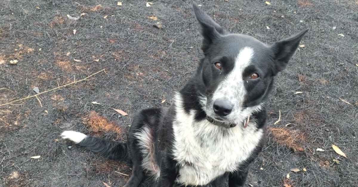 Courageous Border Collie Saves Sheep From Australian