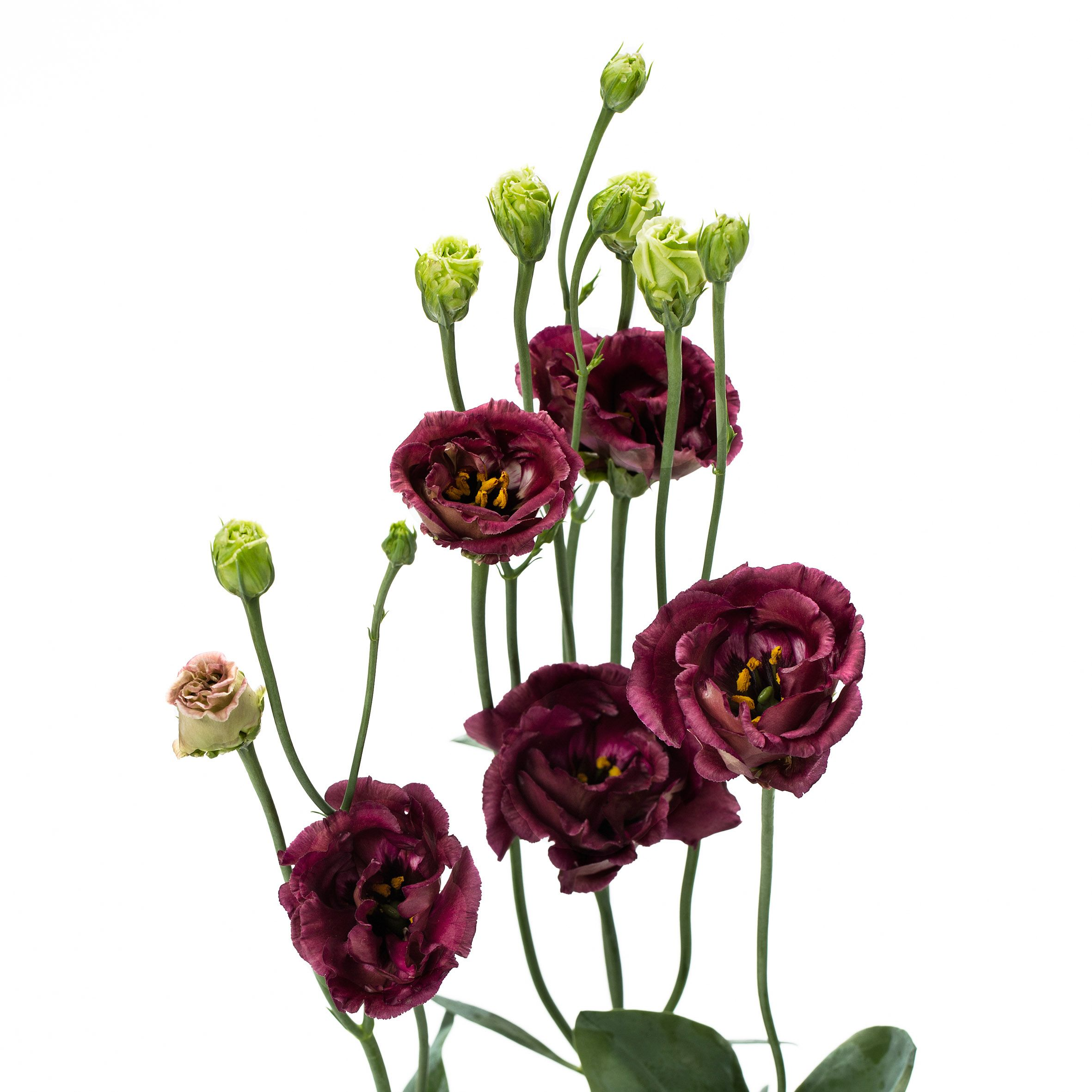 Wedding Flowers In February: Lisianthus Rosanne Deep Brown