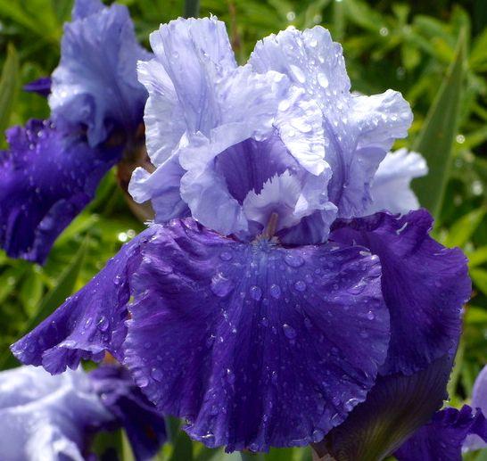 TB Iris germanica 'Proud Tradition' (Schreiner, 1990)