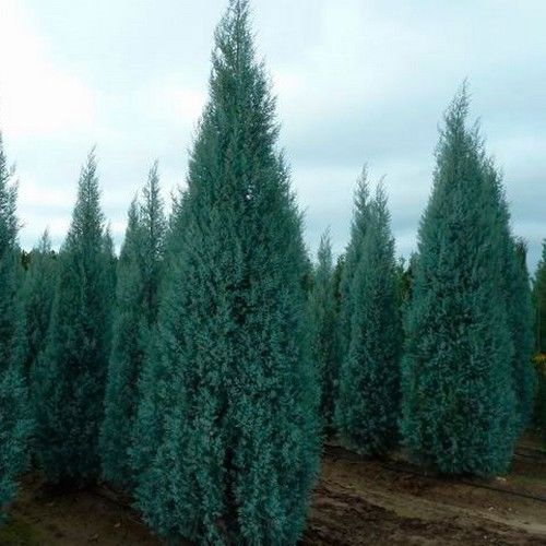 Arizona Cypress Tree Seeds Cupressus Arizonica 25 Seeds Evergreen Trees For Privacy Cypress Trees Tree Seeds