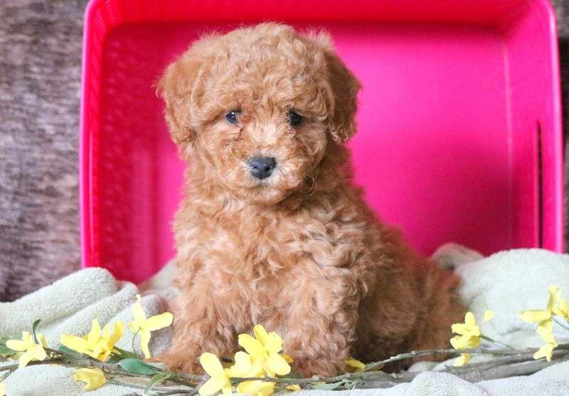 Poodle Miniature Puppy For Sale In Mount Joy Pa Adn 68763 On Puppyfinder Com Gender Male Age 8 Weeks Old Miniature Puppies Puppies For Sale Poodle Puppy