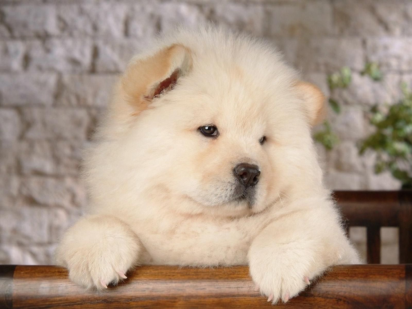 Chow Chow Vs Tibetan Mastiff | Pets World | All About Pets ...
