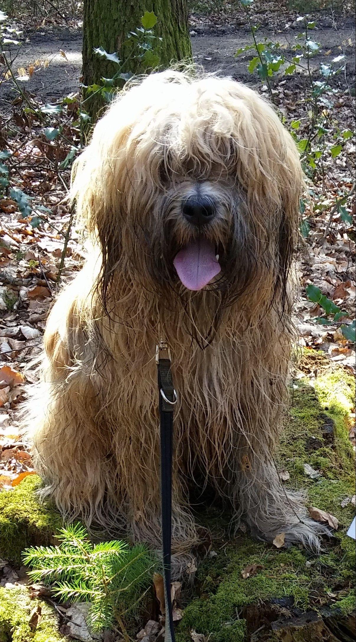 Pin Von Marlis Clasen Auf Tibet Terrier