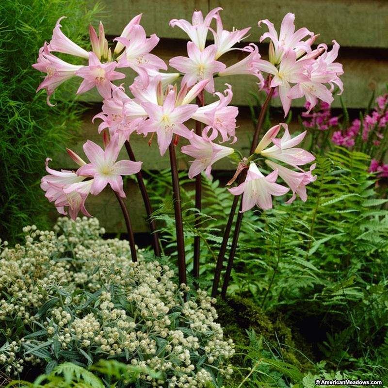 Lycoris squamigera magic lily