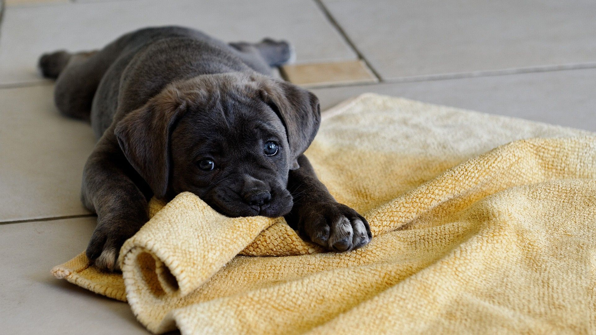 Little Baby Dog Cane Corso Cute Puppy Wallpaper Cute Dogs Images