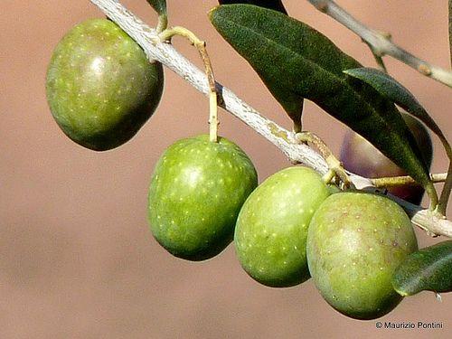 FRUTTI e PIANTE | Olive verdi