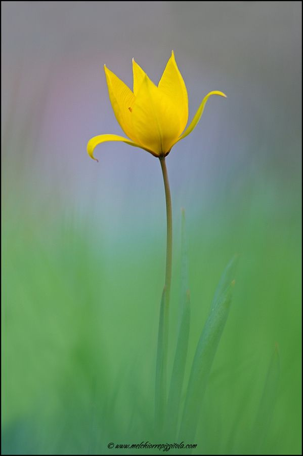 ~~tulipa sylvestris by melchiorre pizzitola~~
