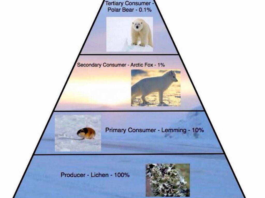 arctic tundra food chain food web arctic tundra map arctic fox