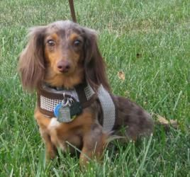 Adopt Vinnie On Adoptable Dachshund Dog Dachshund Adoption