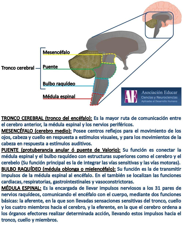 Tronco cerebral - Asociación Educar - Ciencias y Neurociencias ...