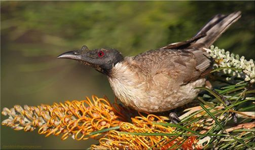 Noisy Friarbird (Philemon corniculatus) in Queensland, Australia by David Taylor. The friarbirds (also called leatherheads) are about 15 species of relatively large honeyeaters in the genus Philemon. They are quite agressive in their behaviour.