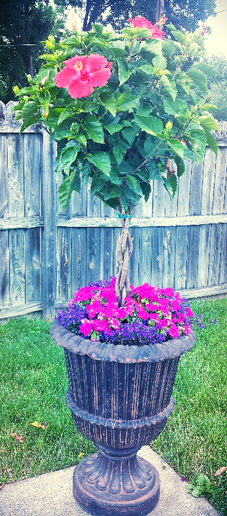 Love This I Planted Orange Hibiscus Flowering Tree With Pink