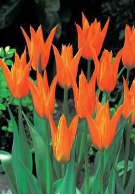 Ballerina Bulbs Tulips Bulbs Ballerina Buy Tulips Flower Bulbs Online Bulb Flowers Tulip Bulbs Tulips