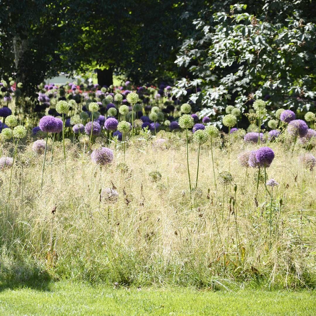 Bollhav. A sea of Allium. #trädgårdsdesign #prydnadslök #gardendesign #allium #solliden