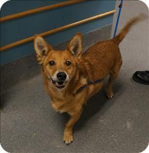 Richmond Va Corgi Mix Meet Hopps A Dog For Adoption Kitten Adoption Pets Dog Adoption