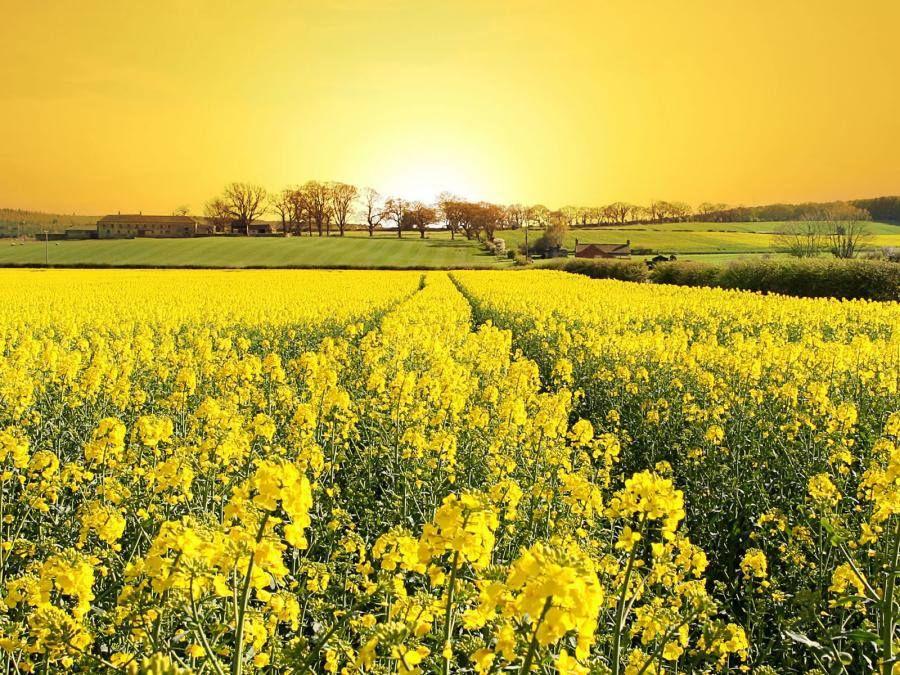 Fiori Gialli Da Campo.Field Filled With Yellow Flowers And Sunset Natura Fiori Gialli