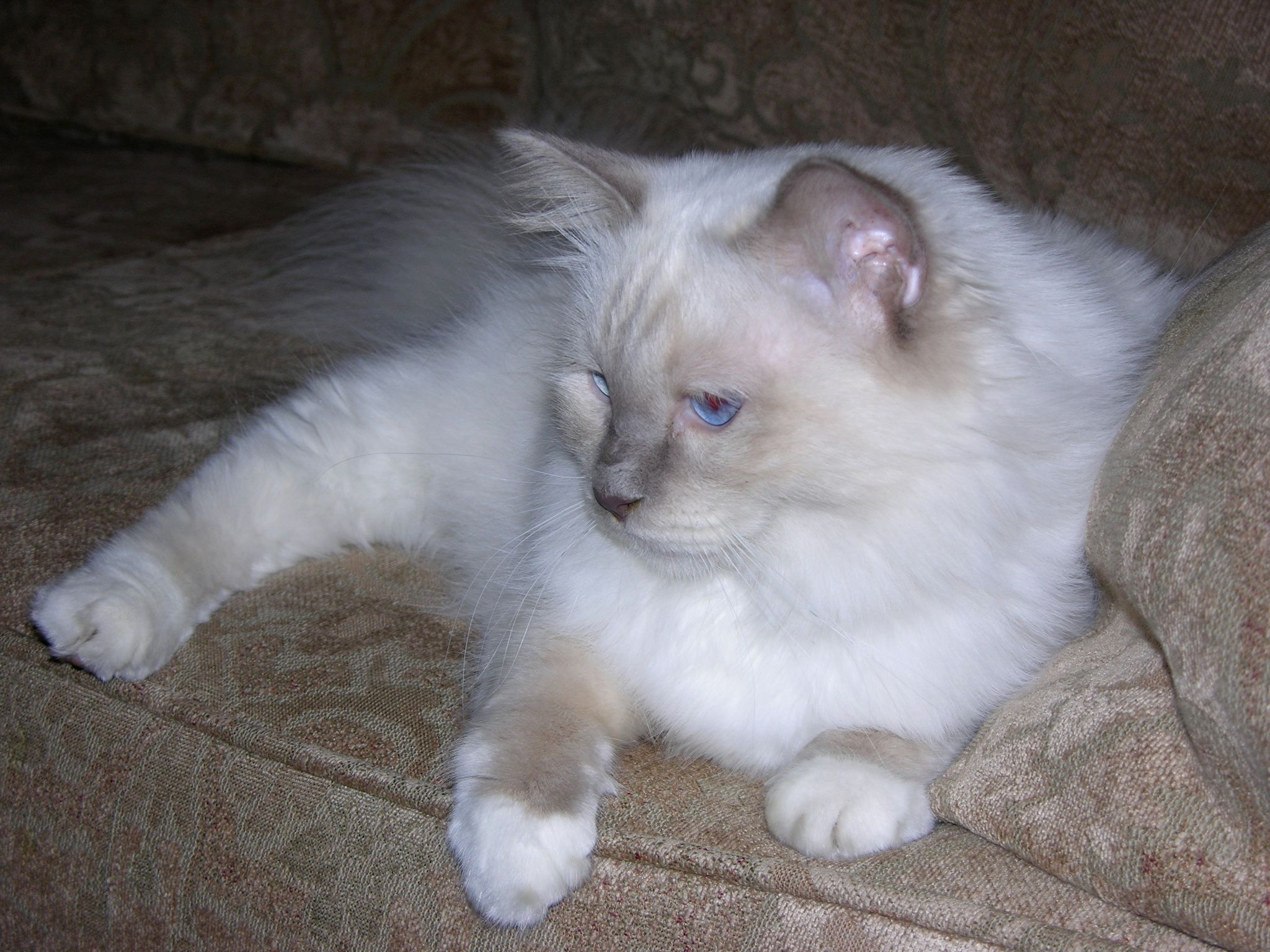 Lilac point Birman Sweetest cat ever Animals Pinterest