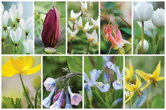 These fleeting beauties are the glory of woodland gardens - spring wildflowers!