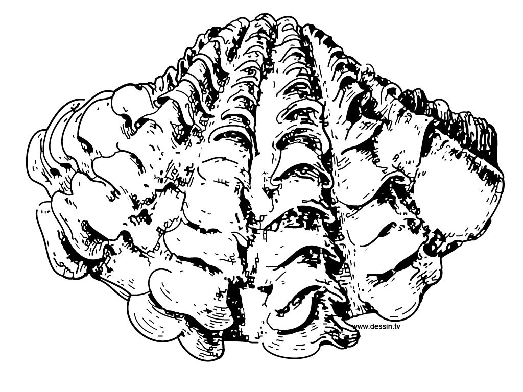 Clam Drawing Coloring Giant Clam Coloring Pages Giant Clam