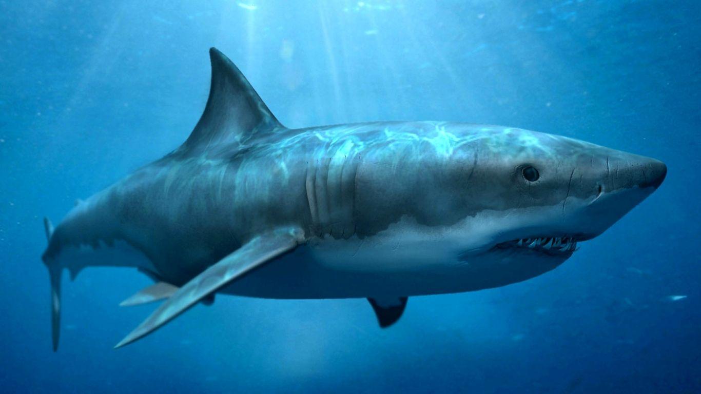 tiburones | Los científicos han estudiado los dientes megalodon que ...