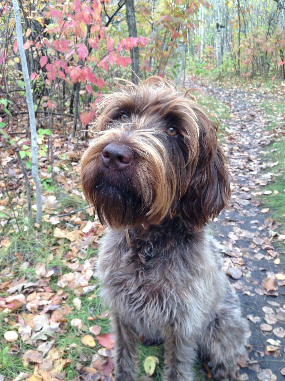 griffon pointer dog
