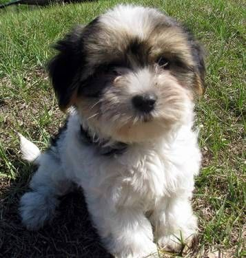 Still Trying To Decide What Kind Of Dog We Want To Get Heard Good Things About Morkies Yesterday Morkie Puppies Puppies What Kind Of Dog